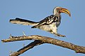 Southern Yellow-billed Hornbill, Tockus leucomelas, at Marakele National Park, Limpopo, South Africa (45811870365).jpg