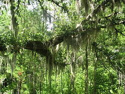 Tillandsia usneoides no Moores Creek National Battlefield em Pender County, Carolina do Norte