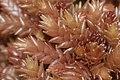 Sphagnum magellanicum (a, 150139-481741) 6952.JPG