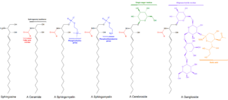 Sphingolipid - General structures of sphingolipids