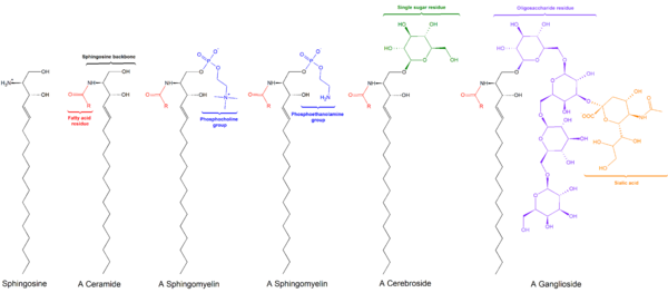 Sphingolipids general structures.png