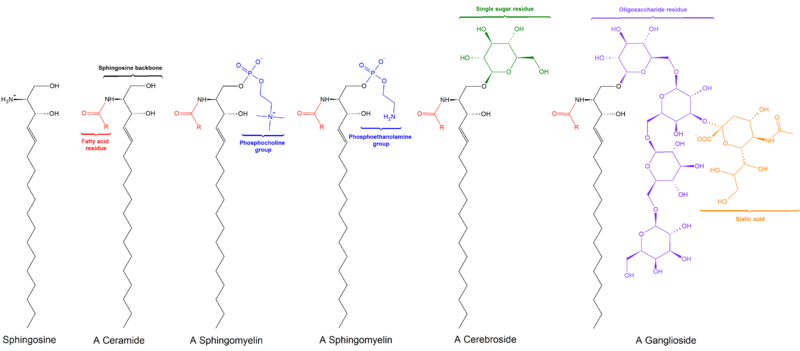 پرونده:Sphingolipids general structures.png