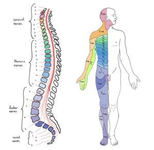 Spinal Cord Segments and body representation