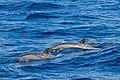 Spinner Dolphin Alphonse Atoll 07-2017.jpg