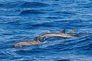 Spinner dolphin - Image: Spinner Dolphin Alphonse Atoll 07 2017