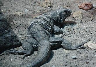 Ctenosaura - Image: Spiny Tailed Iguana Ctenosaura Hemilopha
