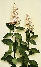 Spiraea alba var. latifolia WFNY-093A.jpg