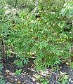 Spiraea rosthornii - Bergianska trädgården - Stockholm, Sweden - DSC00522.JPG