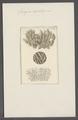 Spongia cartilaginea - - Print - Iconographia Zoologica - Special Collections University of Amsterdam - UBAINV0274 112 02 0045.tif