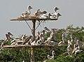 Spot-billed Pelican (Pelecanus philippensis) at nest W IMG 7199.jpg