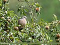 Spotted Dove (Spilopelia chinensis) (27859959089).jpg