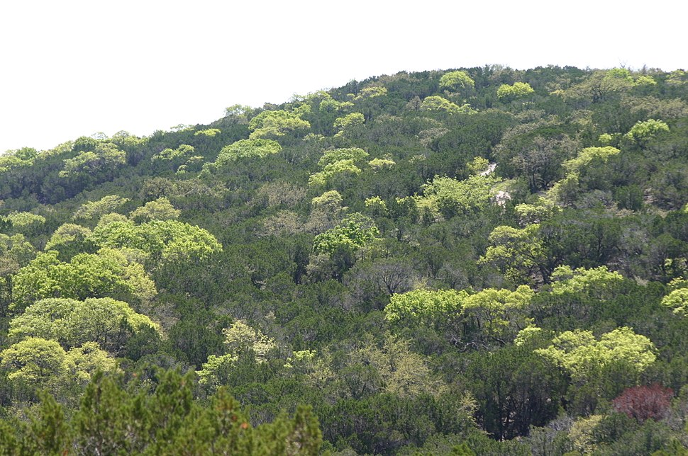 Spring Forest Leaves in Texas Hill Country