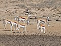 Springboks (Antidorcas marsupialis) females and youngs ... (32568574796).jpg