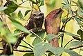 Sri Lanka Frogmouth AMSM0053.jpg