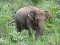 Sri Lankan Elephant in Hurulu Eco Park 17.jpg