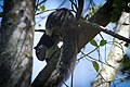 Srilankan national animal grizzled giant squirrel.jpg