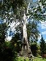 St. Vincent, Karibik - Botanical Garden of Kingstown - Eucalyptus tree - panoramio.jpg