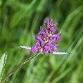 Stachys officinalis flower.jpg