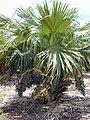 Starr-010420-0111-Livistona chinensis-habit-plantation Waikapu-Maui (24424027722).jpg
