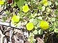 Starr-040318-0016-Portulaca lutea-flowers-Maui Nui Botanical Garden-Maui (24071404944).jpg