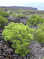 Starr-040331-0077-Senna gaudichaudii-habit-Kanaio-Maui (24582662122).jpg