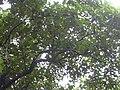 Starr-040514-0068-Aleurites moluccana-habit-Nuanualoa-Maui (24702403835).jpg