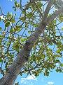 Starr-060922-9159-Clusia rosea-canopy and sky-Kahului Airport-Maui (24747855212).jpg