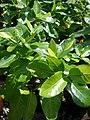 Starr-080117-1904-Gardenia brighamii-habit-Home Depot Nursery Kahului-Maui (24874911776).jpg