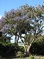 Starr-080501-4351-Jacaranda mimosifolia-flowering habit-Makawao-Maui (24283418273).jpg