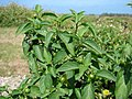 Starr-080602-5432-Solanum americanum-fruiting habit-Runway overrun fields Sand Island-Midway Atoll (24544393819).jpg