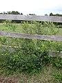 Starr-090408-5671-Olea europaea subsp cuspidata-naturalized along fence-Piiholo-Maui (24833245692).jpg
