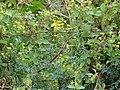 Starr-090430-6567-Ruta graveolens-flowering habit-Kula-Maui (24952934535).jpg