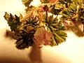 Starr-090504-7362-Malva neglecta-flower and leaves-Science City-Maui (24836436912).jpg