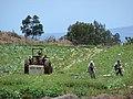 Starr-090519-8040-Brassica oleracea var capitata-crop with workers in field-Kula-Maui (24929368676).jpg