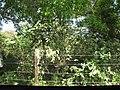 Starr-090610-0493-Solanum torvum-habit-Haiku-Maui (24937396316).jpg