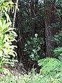 Starr-090617-0827-Clusia rosea-habit in understory-Ulumalu Haiku-Maui (24934376506).jpg
