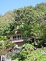 Starr-090721-3223-Medinilla magnifica-flowering habit-Wailuku Heights-Maui (24674915570).jpg