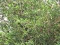 Starr-090806-4040-Spondias purpurea-fruiting habit-Kahului-Maui (24676302510).jpg