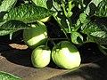 Starr-091023-8525-Solanum muricatum-fruit and leaves-Kula Experiment Station-Maui (24619175209).jpg