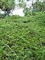 Starr-091104-0712-Scaevola coriacea-habit with ulei-Kahanu Gardens NTBG Kaeleku Hana-Maui (24619676209).jpg