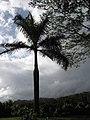Starr-110330-3562-Roystonea regia-habit-Garden of Eden Keanae-Maui (24987041451).jpg