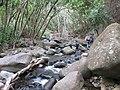 Starr-120425-9394-Syzygium cumini-along stream with Forest and Jeremy-Waikapu Valley-Maui (24513518763).jpg