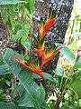 Starr-120522-6325-Heliconia psittacorum x spathocircinata-Heliconia flower-Iao Tropical Gardens of Maui-Maui (24847839840).jpg