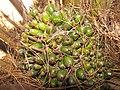 Starr-120702-7945-Elaeis guineensis-green fruit-USDA Plant Materials Center-Molokai (25093079911).jpg