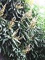 Starr-130312-2208-Mangifera indica-Nam doc mai flowers-Pali o Waipio Huelo-Maui (25113711571).jpg