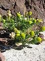 Starr-130801-2773-Matricaria discoidea-flowering habit-Summit HNP-Maui (25140830032).jpg