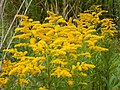 Starr-140930-2061-Solidago canadensis-flowers-Keokea-Maui (25128507752).jpg