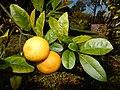 Starr-150112-3409-Citrus limonia-fruit and leaves-Hawea Pl Olinda-Maui (24968863320).jpg