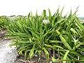 Starr-150403-1470-Crinum asiaticum-flowering habit-Near Pier Eastern Island-Midway Atoll (24910148129).jpg