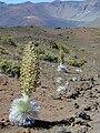 Starr 011003-0140 Argyroxiphium sandwicense subsp. macrocephalum.jpg
